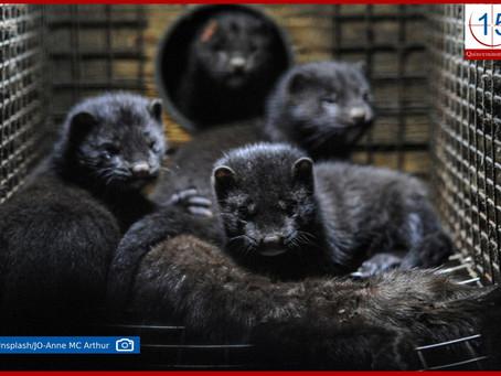 Dinamarca sacrifica millones de animales por una mutación del coronavirus