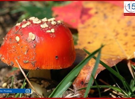 Alerta Salud sobre riesgos de consumir hongos venenosos