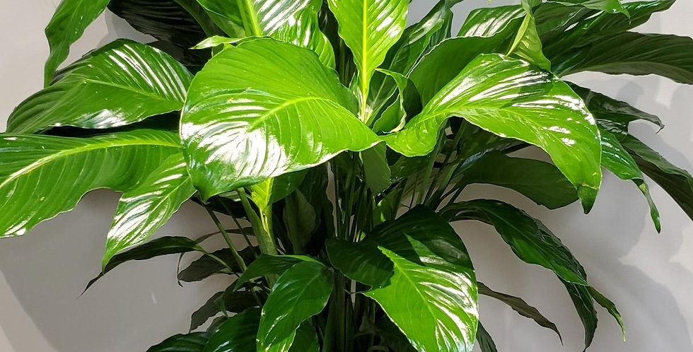 """Large floor plant in upgraded 10"""" pot."""