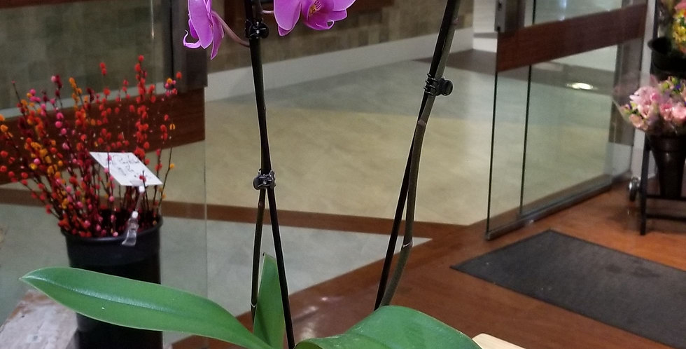 Pink Double Orchid plant