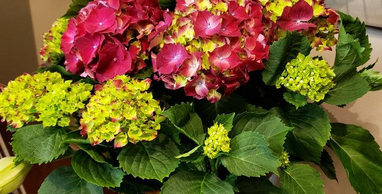 """Medium hydrangea plant in a 10"""" basket"""