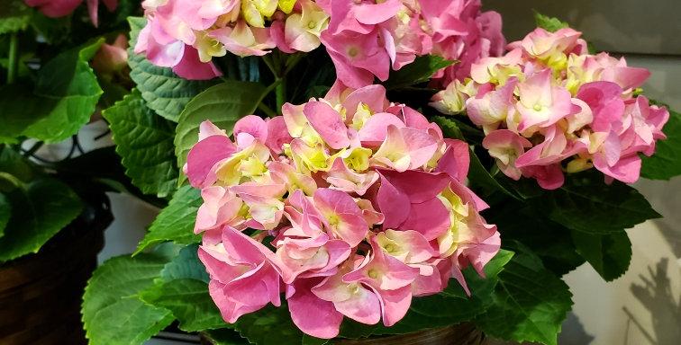 """Hydrangea plant in a 6"""" wide basket"""