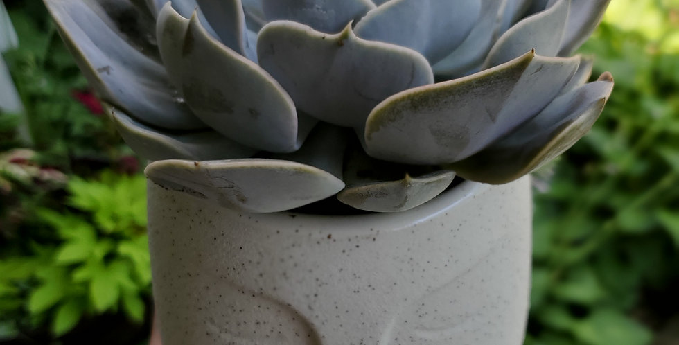 Large succulent in stone face planter.