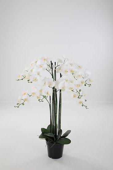 Butterfly Orchidee