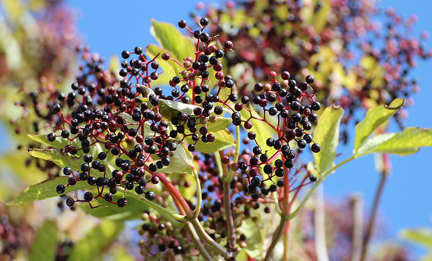 black-elderberry-close-up-elder-51962.jp