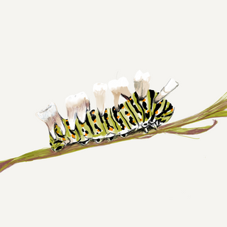 Molarpillar