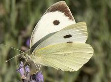 Papillon_redimensionner.jpg