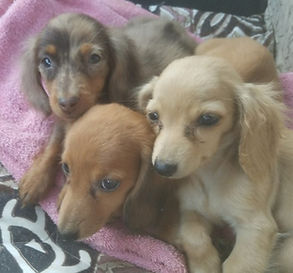 pile of puppies doxies.jpg