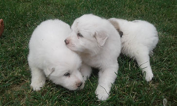 ayden's puppies 2.jpg