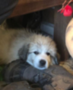 pyr puppy with a muddy boot.jpg