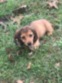 doxi puppy.jpg