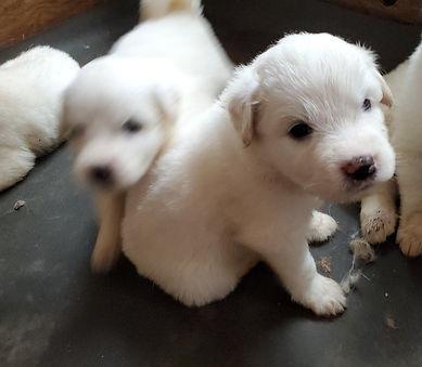 Cricket's puppies.jpg