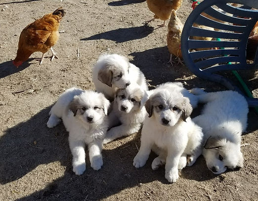 puppies with chickens.jpg