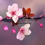 cherryblossum.jpg