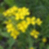 fieldmustard_edited.jpg