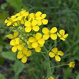 fieldmustard_edited.jpg