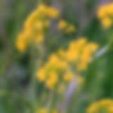 gardenyellowrocket.jpg