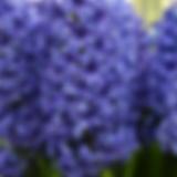 hyacinth.webp