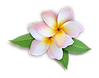 Plumeria-PNG-HD.png