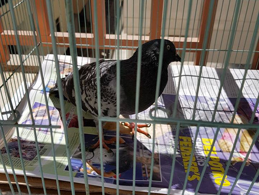 Additional Update on Toto the Pigeon
