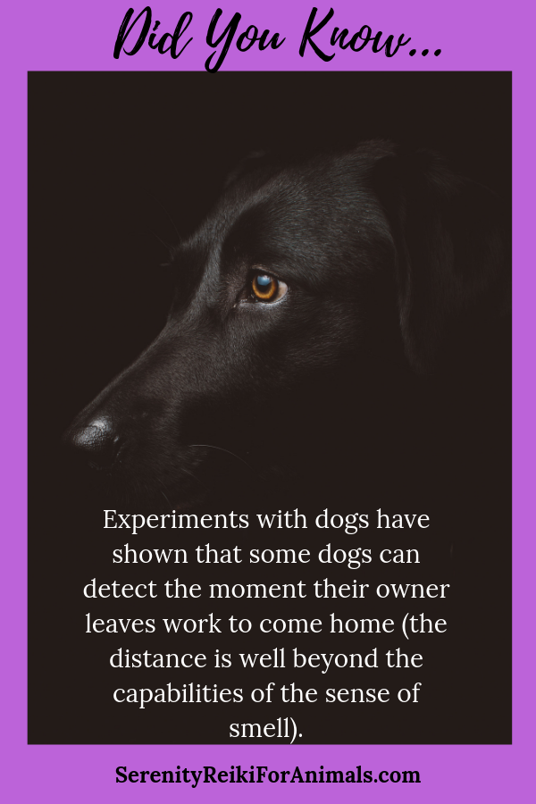 Did you know Experiments with dogs have shown that some dogs can detect the moment their owner leaves work to come home (the distance is well beyond the capabilities of the sense of smell)
