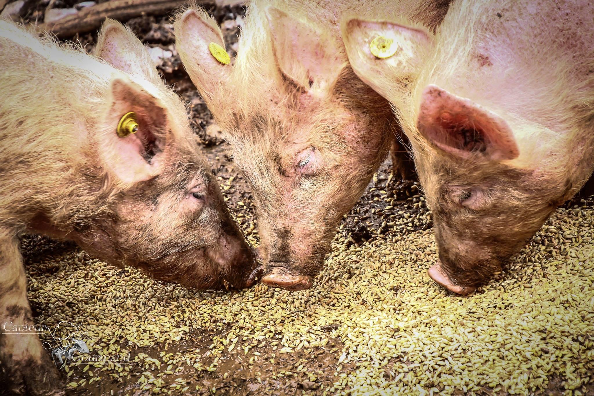 Les Cochons de la Cote d'Azur (14).jpg