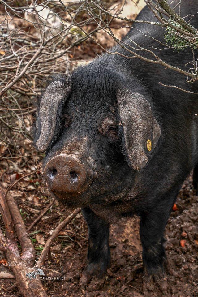 Elevage de porcs Bio. Les Cochons de la Cote d'Azur (5).jpg