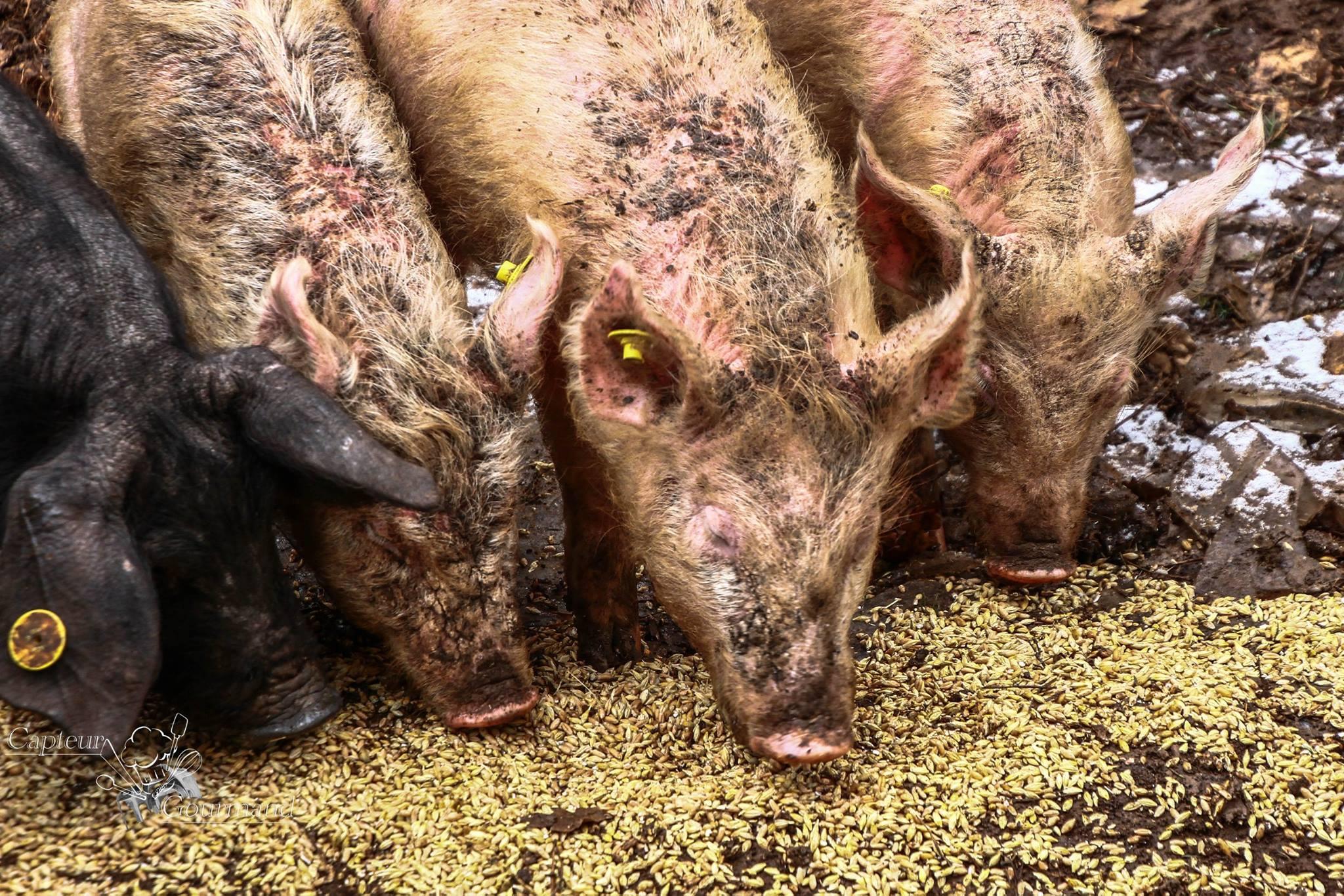 Elevage de porcs Bio. Les Cochons de la Cote d'Azur (7).jpg