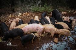Les Cochons de la Cote d'Azur (13).jpg