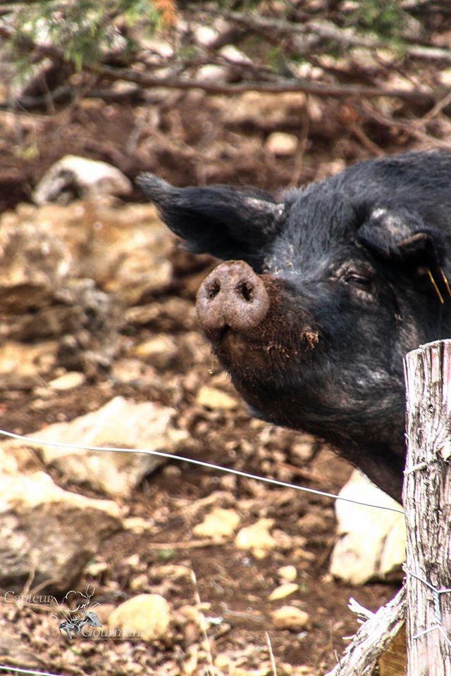Les Cochons de la Cote d'Azur (11).jpg