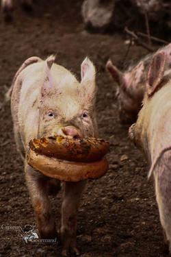 Les Cochons de la Cote d'Azur (4).jpg