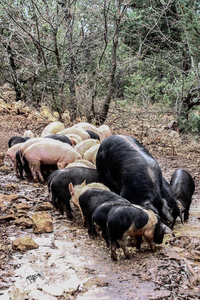 Les Cochons de la Cote d'Azur (10).jpg