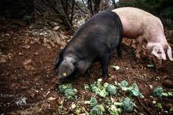 Elevage de porcs Bio. Les Cochons de la Cote d'Azur (9).jpg