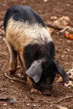 Elevage de porcs Bio. Les Cochons de la Cote d'Azur (3).jpg