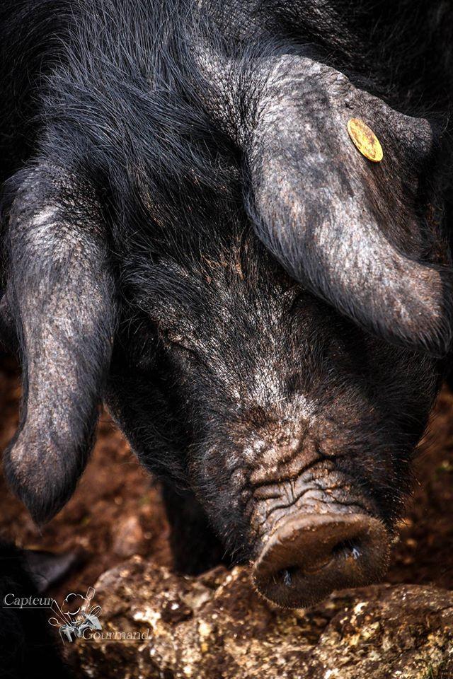 Les Cochons de la Cote d'Azur (9).jpg