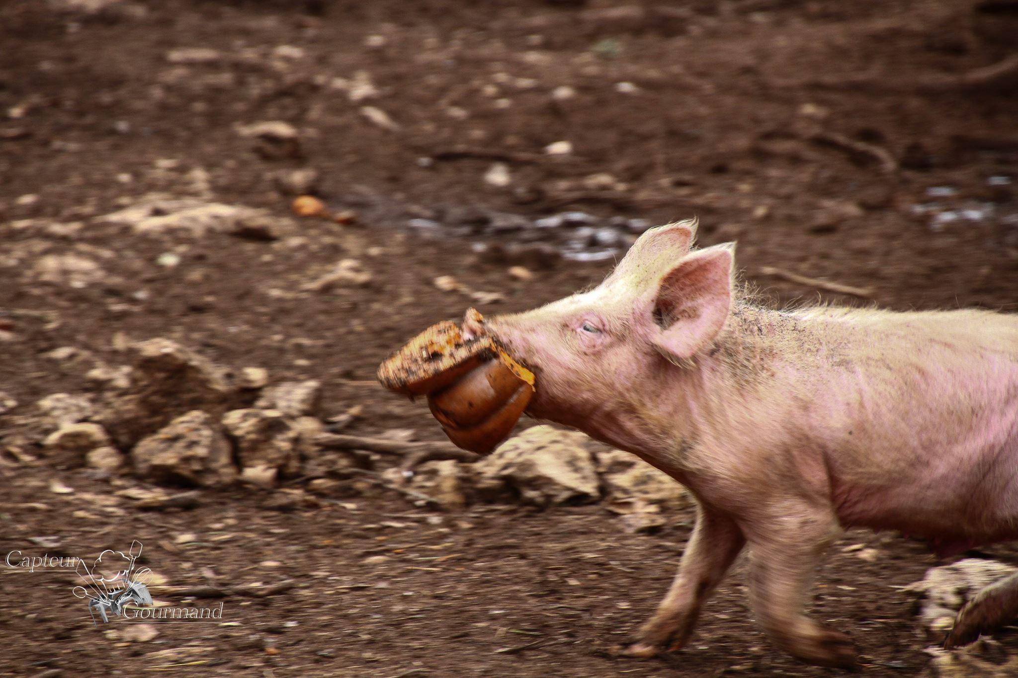 Les Cochons de la Cote d'Azur (12).jpg