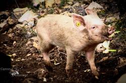 Elevage de porcs Bio. Les Cochons de la Cote d'Azur (2).jpg