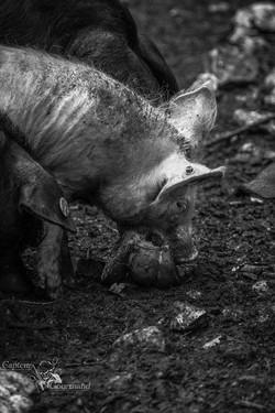 Elevage de porcs Bio. Les Cochons de la Cote d'Azur (4).jpg