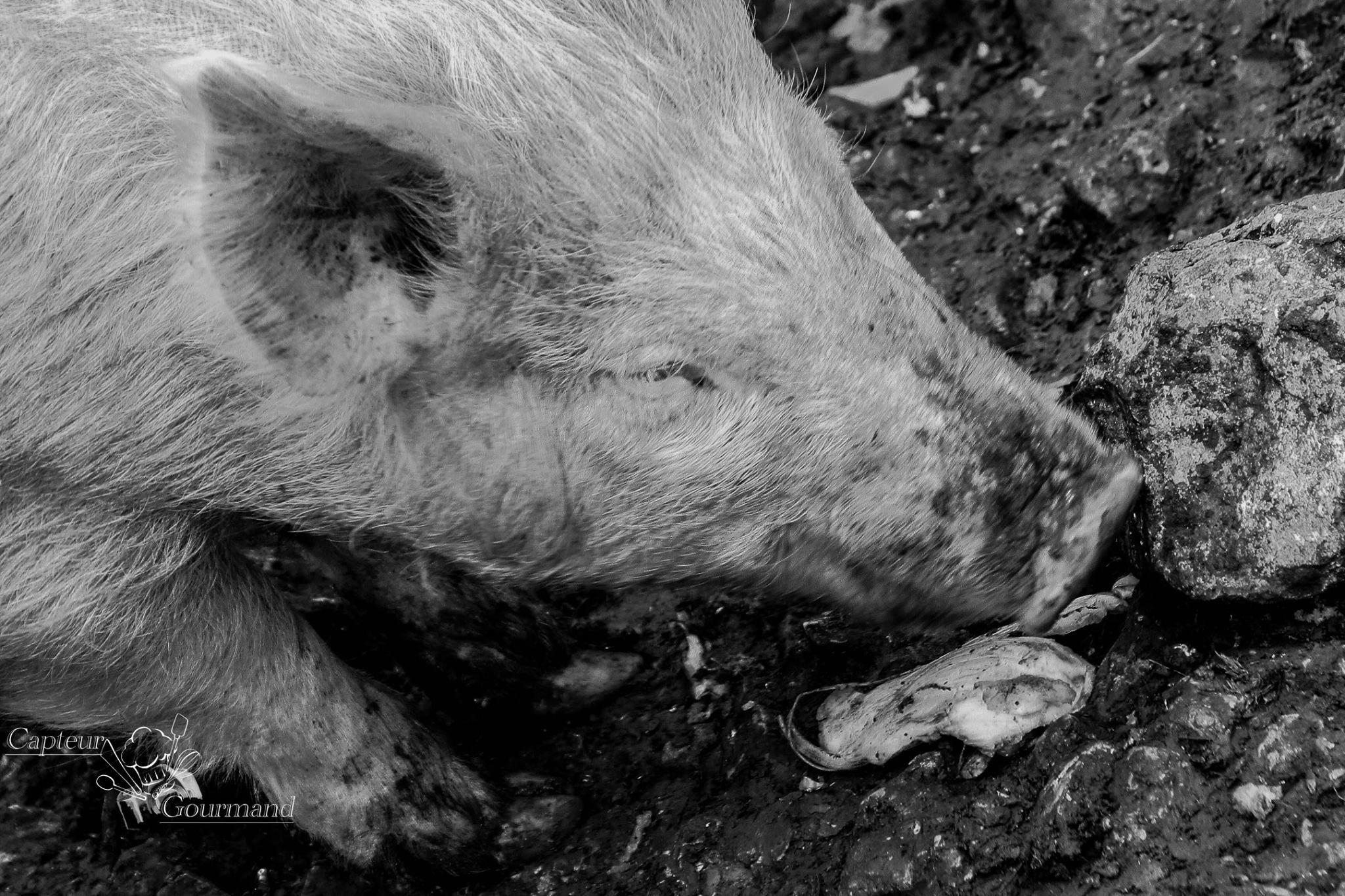 Elevage de porcs Bio. Les Cochons de la Cote d'Azur (1).jpg