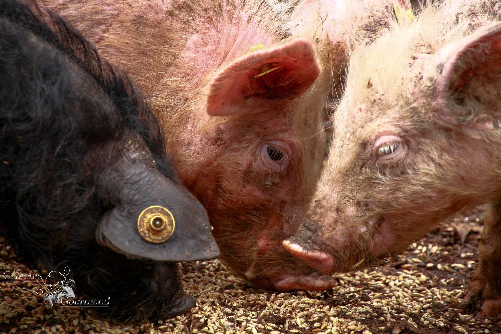 Les Cochons de la Cote d'Azur (7).jpg