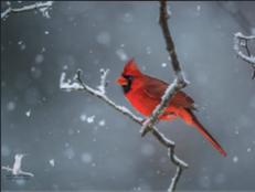 Backyard Cardinal 2015 Ruston