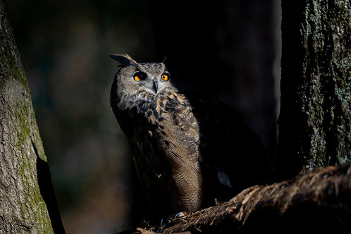 Eagle Owl Print by Jeff Perot