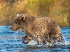 Bear Cub Splashing 2016, Alaska