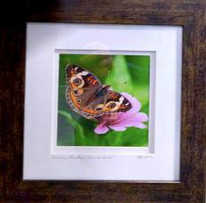 Common Buckeye Monarch (Junonia coenia)