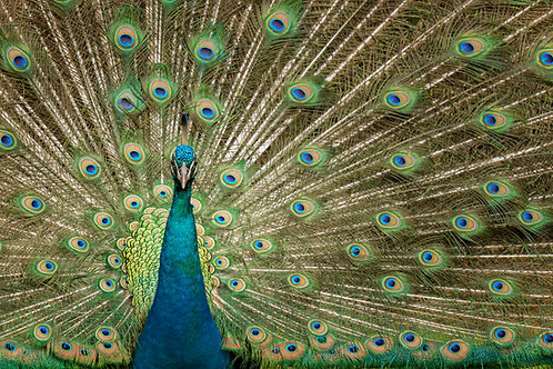 Peacock Spread Print by Jeff Perot