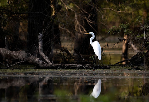 Great Egret Print by Jeff Perot