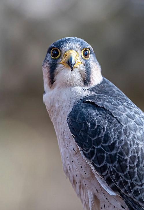 Lanner Falcon Print by Jeff Perot