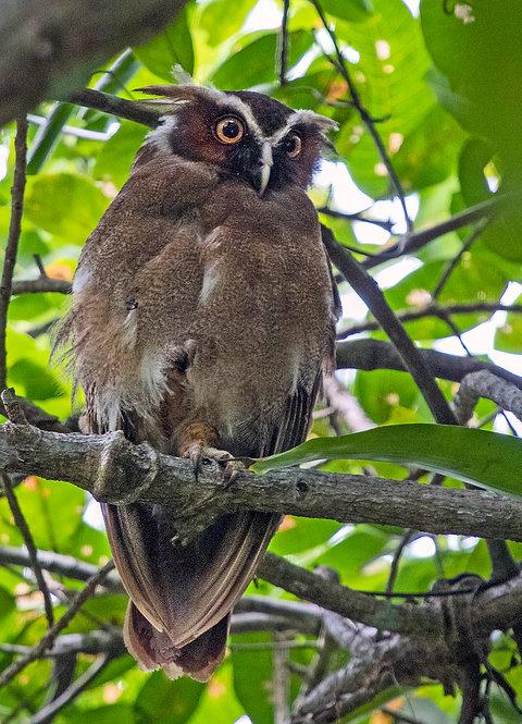 Crested Owl Wood Frame