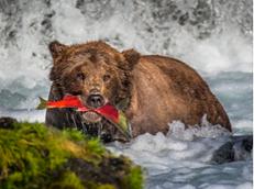 Bear Catching Sockeye Salmon 2016 Alaska