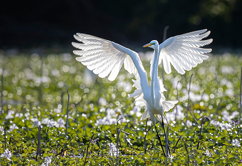 Great Egret Spread Print by Jeff Perot
